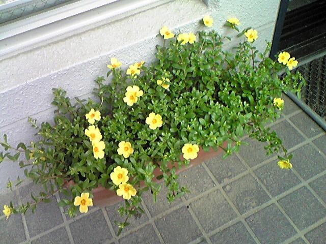 玄関に黄色い花を