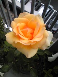薔薇が咲きました〜